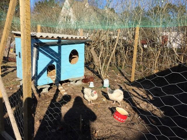 Høns på Anholt Skole